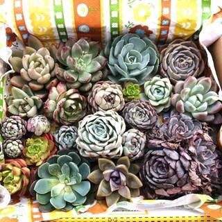 本日(3月21日)で終了☆豪華 韓国苗 19苗セット エケベリア 多肉植物(その他)