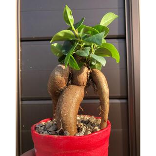 観葉植物 植物 ガジュマル 抜き苗(その他)