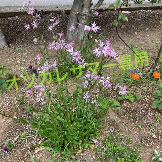 沢山咲き始めたピンクの花💠(その他)