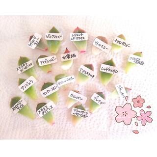 葉挿し20品種★多肉植物(その他)
