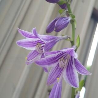 紫の花のギボウシの種20粒ミニホスタ(その他)