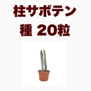 【種子20粒】柱サボテン セレウス フォーべシー cereus forbesii(その他)