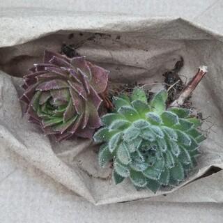 多肉植物 センペルビウムセット in わけけのお店(ヨメ)(その他)