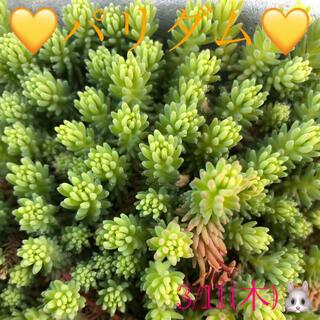 多肉植物❤︎パリダム❤︎カット苗♪(その他)