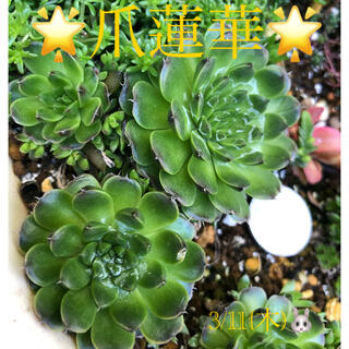 多肉植物❤︎爪蓮華❤︎抜き苗❤︎3個♪(その他)
