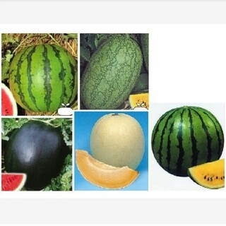 スイカ種メロン種●新大和二号 嘉宝西瓜 シュガーベイビー ハニーオレンジ 大和ク(野菜)