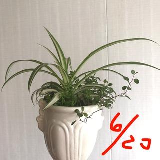 観葉植物 ミニ 寄せ植え ② オリヅルラン 等(その他)