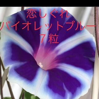 朝顔の種 恋しぐれ バイオレットブルー7粒(その他)