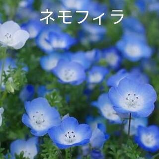ネモフィラ  300粒以上  青花  花種(プランター)
