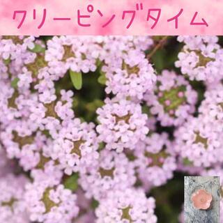 可愛いピンクの絨毯♡『クリーピングタイム』花の種50粒(その他)