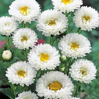アスター 白 八重咲き 30粒 今年度取れた種 エゾギク(その他)