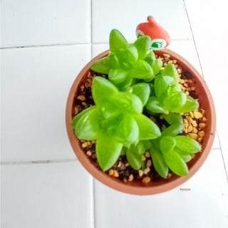 ハオルチアウンブラティコラ多肉植物🅱(プランター)