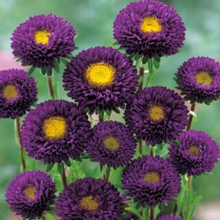 アスター 紫 八重咲き 30粒 今年度取れた種 エゾギク(その他)