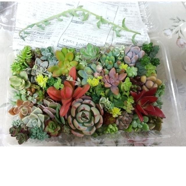 多肉植物  カット苗  Morning  Pink ハンドメイドのフラワー/ガーデン(その他)の商品写真