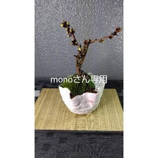 旭山桜(一才桜)盆栽仕立て&ふわふわ天然ぎん苔②(その他)