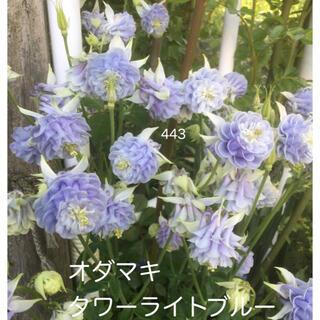 西洋オダマキ タワーライトブルー 花の種 25粒(その他)