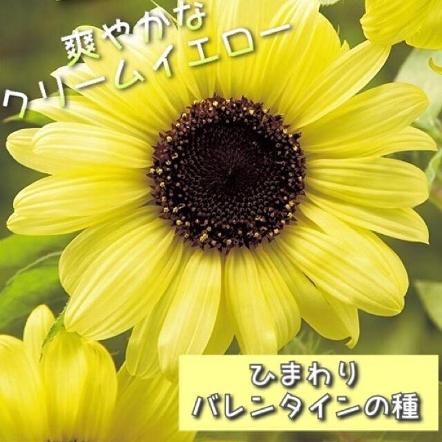 ひまわり バレンタインの種 ハンドメイドのフラワー/ガーデン(その他)の商品写真