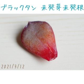 【レア 新品種】ブラックタン 葉挿し 未発芽未発根 1枚 多肉植物(その他)