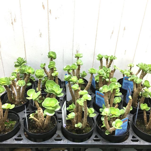 幹太め! モロコエンシス 3.5号 ハンドメイドのフラワー/ガーデン(プランター)の商品写真