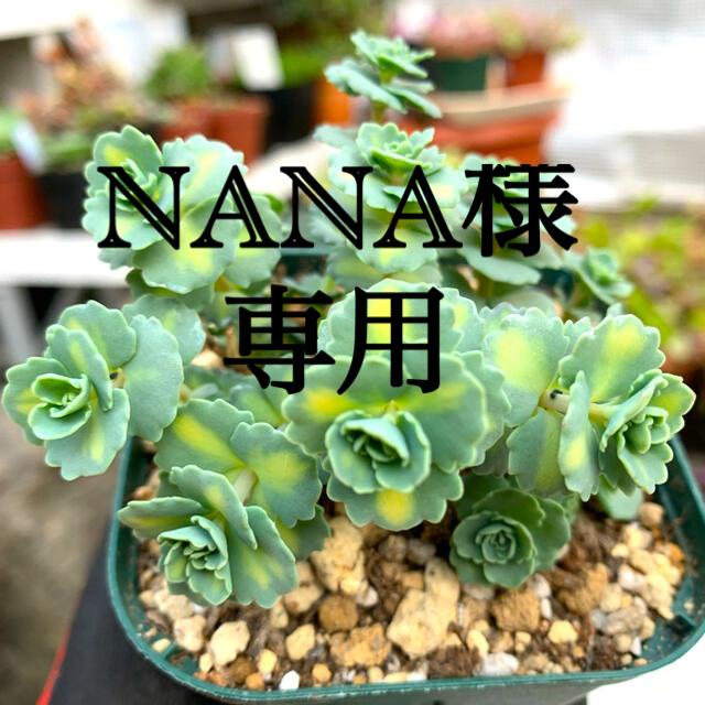 多肉植物 斑入りミセバヤ❣️美苗 抜き苗 ハンドメイドのフラワー/ガーデン(その他)の商品写真