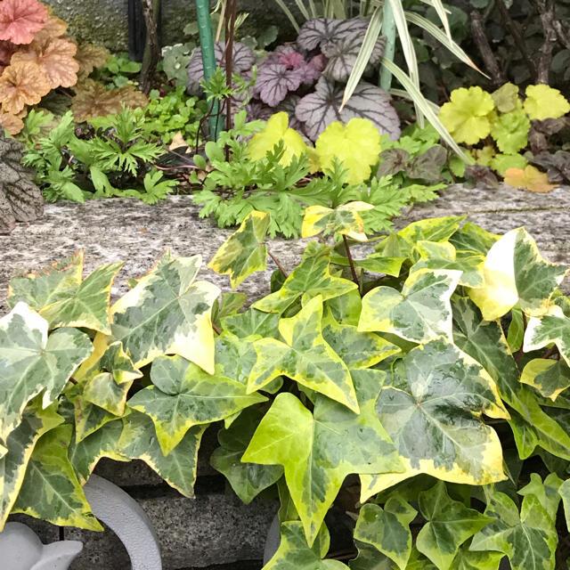 ヘデラ ヘリックス ゴールデンチャイルド ハンドメイドのフラワー/ガーデン(その他)の商品写真