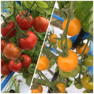 新鮮 完熟 ミニトマト2種 3.5kg(野菜)