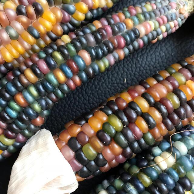 グラスジェムコーンの種 100粒 ハンドメイドのフラワー/ガーデン(ドライフラワー)の商品写真