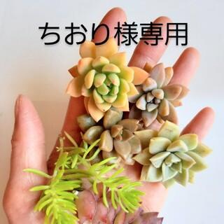 多肉植物 カット苗6種(その他)