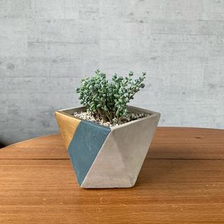 セダム ブレビフォリウム 開花中!鉢セット 多肉植物  観葉植物(その他)
