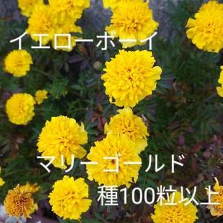 フレンチマリーゴールド/イエローボーイ/種100粒以上/黄色(その他)