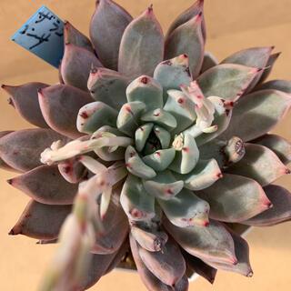おらいさん苗 メキシカン x ザラゴーサ x黒爪ザラゴーサ 多肉植物 青札(その他)