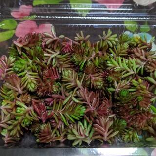 多肉植物 セダム(その他)