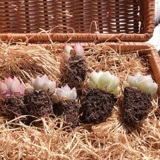 SALE‼️韓国多肉植物 3種6苗セット❤お名前つけます(その他)