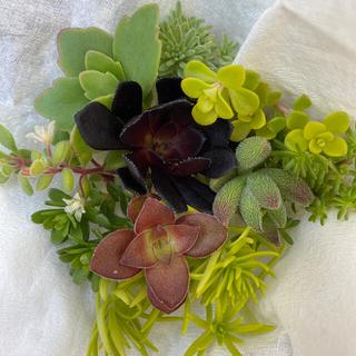 多肉植物 カット苗セット A(その他)