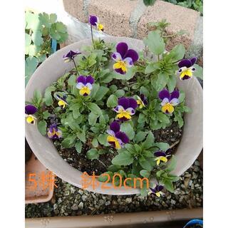 🌸②ビオラ苗5株紫x黄色(鉢は送りません) 20cm以上に成長します。(プランター)