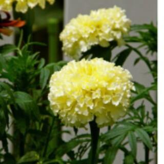 マリーゴールド アフリカンバニラの種30粒(その他)