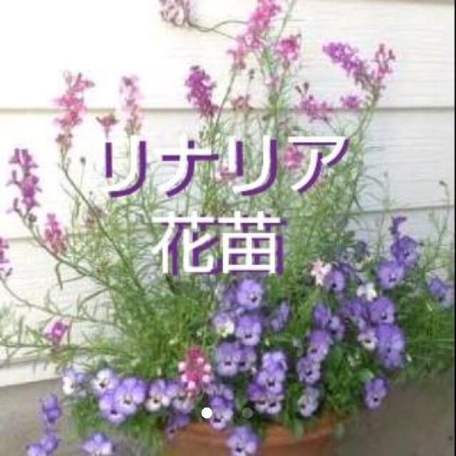 リナリア 花苗 10株set ハンドメイドのフラワー/ガーデン(その他)の商品写真
