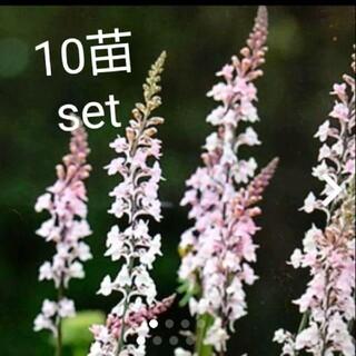 リナリア 花苗 10株set(その他)