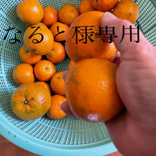 訳ありタンカン10キロ/沖永良部島産(フルーツ)