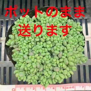 パープルヘイズ 多肉植物(その他)