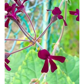 ゆっこ様用 ① 冬も咲く 根つき苗 ペラルゴニウム:シドイデス(プランター)
