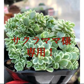 セダム 斑入りマルハマンネングサもりもり❣️美苗 抜き苗(その他)