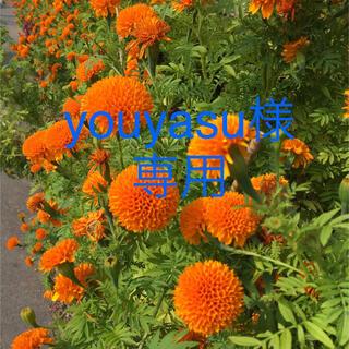 マリーゴールド・ローゼルの種子(その他)
