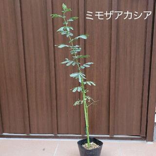 大きく成長中♪ ミモザアカシア (ギンヨウアカシア) ポット苗104 観葉植物(プランター)