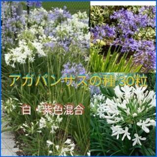 アガパンサス 種 白紫(その他)