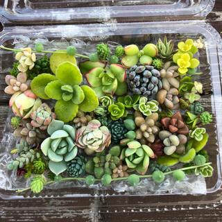 【多肉植物】カラフルカット苗 ◎25種以上(その他)