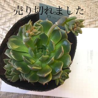 ブラウンローズ 多肉植物(その他)