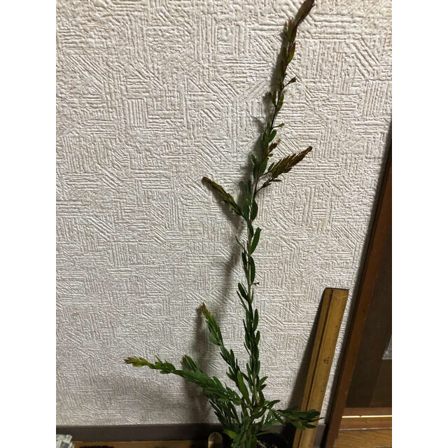ポットごと発送⭐︎ミモザ 苗⭐︎ブリスベーン ハンドメイドのフラワー/ガーデン(ドライフラワー)の商品写真