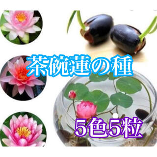 茶碗蓮の種5色5粒(その他)