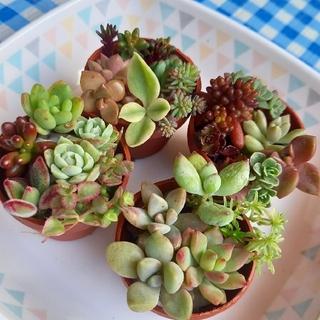 多肉植物カット苗セット(20種類)(その他)